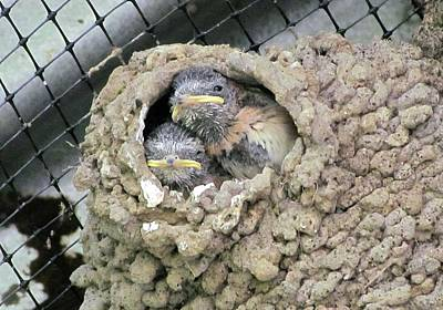 Photograph - Cliff Swallow Babies by I'ina Van Lawick