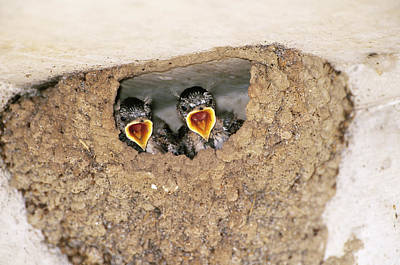 Mud Nest Photograph - Cliff Swallow Chicks by Paul J. Fusco