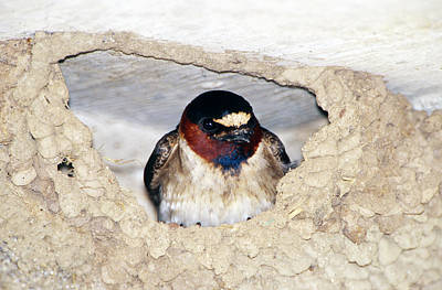 Swallow Photograph - Cliff Swallow In Its Nest by Paul J. Fusco