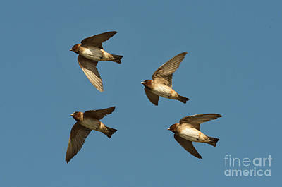 Cliff Swallows Flying Print by Anthony Mercieca