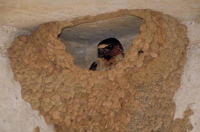 Swallow Photograph - Cliff Swallows by Paul J. Fusco