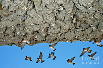 Cliff Swallows Returning To Nests Print by Anthony Mercieca