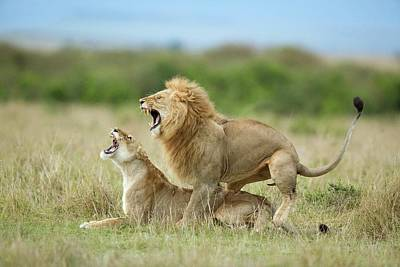 Lioness Photograph - Climax ..... After The Mating by Roshkumar