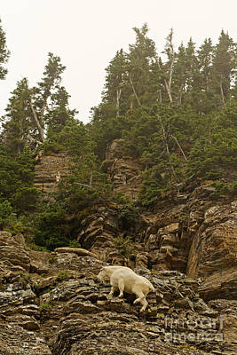 Mountain Goat Photograph - Climb To The Clouds by Natural Focal Point Photography