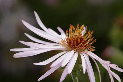 Print featuring the photograph Climbing Aster by Paul Rebmann