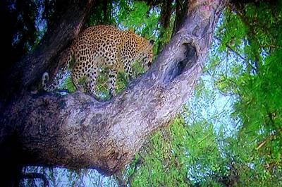 Photograph - Climbing Cheetah by Maria Urso