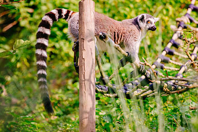 Lemur Catta Photograph - Climbing Lemur by Pati Photography