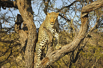 Bigcat Photograph - Climbing Leopard by Andy-Kim Moeller