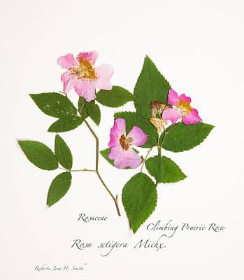 Climbing Prairie Rose  Art Print