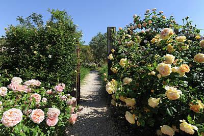 Climbing Roses In Full Bloom, Marnes Art Print by Josie Elias