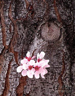 Photograph - Clinging Blossoms by Phyllis Kaltenbach