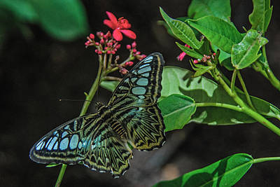 Photograph - Clipper Butterfly by Tam Ryan