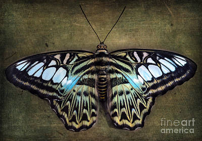 Photograph - Clipper Butterfly by Tamara Becker