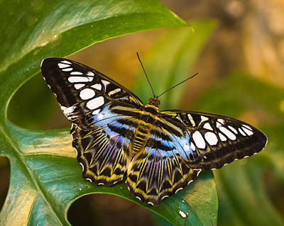 Photograph - Clipper Parthenos Sylvia Blue by Bill Pevlor