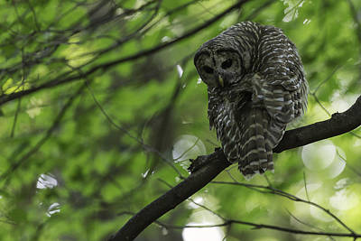Barred Owl Photograph - Cloaked In Silence by Everet Regal