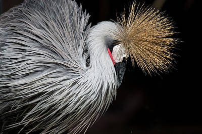 Close Portrait Of A Grey Crowned Crane Art Print by © Santiago Urquijo