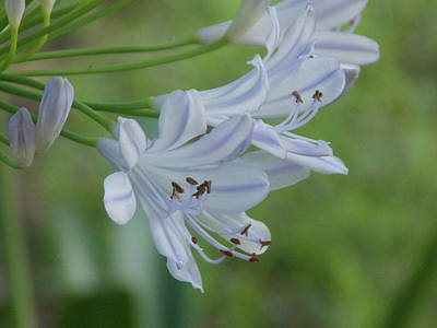 Close Up - African Lily Art Print by Annette Allman