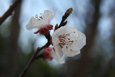 Photograph - Close Up Apricot Blossom In Pastel Shades by Tracey Harrington-Simpson