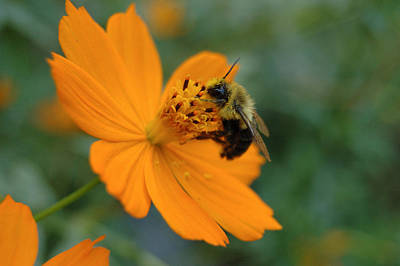 Photograph - Close Up Bee Feeding On Orange Cosmos by Tom Wurl