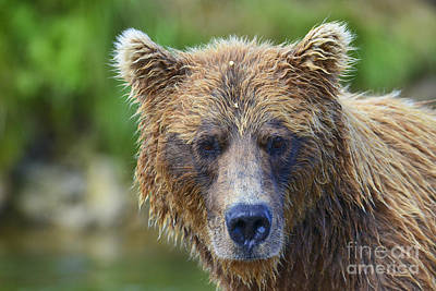 Photograph - Close Up Brown Bear Portrait by Dan Friend