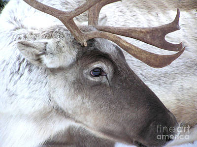 Gray Muzzle Photograph - Close-up Caribou Reindeer by Sylvie Bouchard
