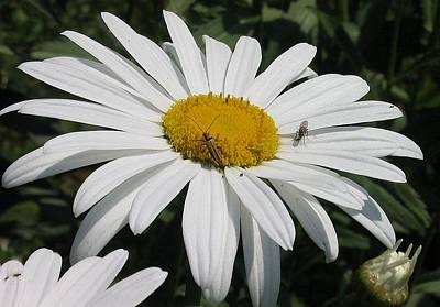 Photograph - Close Up Common Daisy With Winged Insects by Tracey Harrington-Simpson