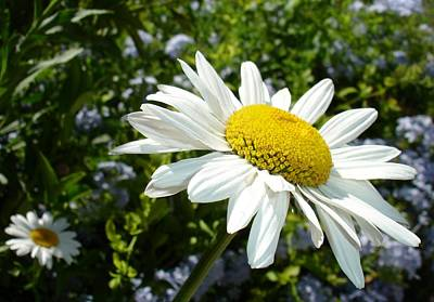 Photograph - Close Up Common White Daisy With Garden by Tracey Harrington-Simpson