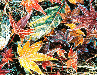Impact Photograph - Close Up Fallen Maple Leaves by Panoramic Images
