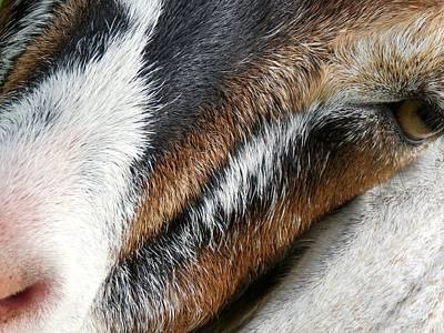 Close Up Goat Print by Kenneth Summers