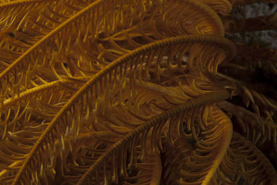 Close-up Image Of A Yellow Crinoid Art Print by Terry Moore