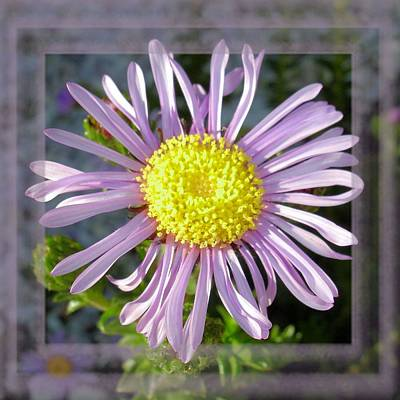 Photograph - Close Up Lilac Aster With Bright Yellow Centre by Taiche Acrylic Art