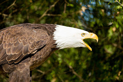 Eagle Feather Photograph - Close-up Of A Bald Eagle Haliaeetus by Panoramic Images