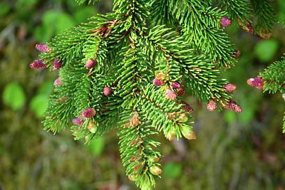 Fir Trees Photograph - Close Up Of A Balsam Fir Branch by Darlyne A. Murawski
