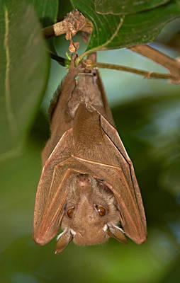 Animal Behavior Photograph - Close-up Of A Bat Hanging by Panoramic Images