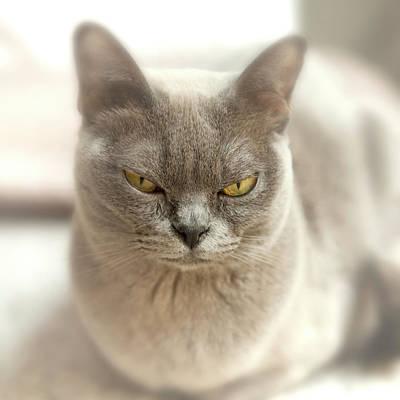 Burmese Python Wall Art - Photograph - Close-up Of A Blue American Burmese Cat by Rona Schwarz