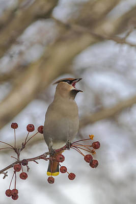 Close Up Of A Bohemian Waxwing With Print by Lynn Wegener