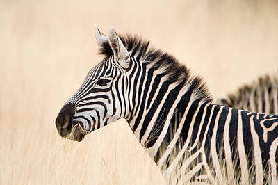 Close-up Of A Burchells Zebra Equus Art Print by Panoramic Images