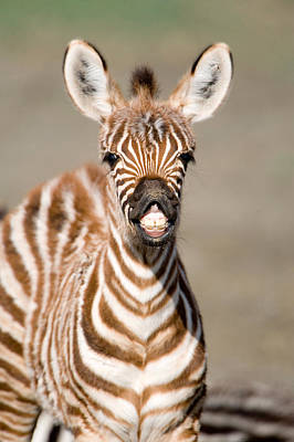 Close-up Of A Burchells Zebra Foal Art Print by Panoramic Images