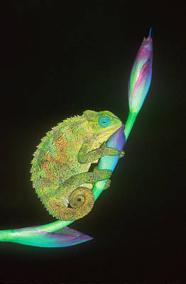 Animal Behavior Photograph - Close-up Of A Chameleon Sitting by Panoramic Images
