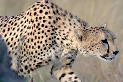 Close-up Of A Cheetah, Ngorongoro Art Print by Panoramic Images