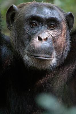 Uganda Wall Art - Photograph - Close-up Of A Chimpanzee Pan by Panoramic Images