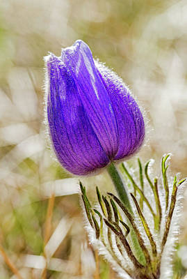Photograph - Close Up Of A Crocus Flower  Calgary by Michael Interisano