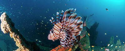 Of Sea Creatures Photograph - Close-up Of A Devil Firefish Pterois by Panoramic Images