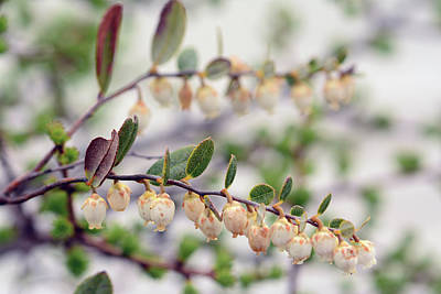 Photograph - Close Up Of A Flowering Leatherleaf by Darlyne A. Murawski
