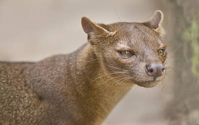 Madagascar Photograph - Close-up Of A Fossa Cryptoprocta Ferox by Panoramic Images
