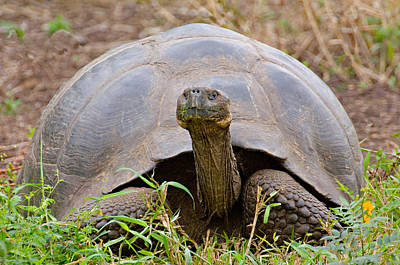 Close-up Of A Galapagos Giant Tortoise Art Print