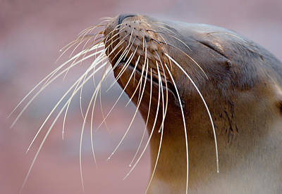 Close-up Of A Galapagos Sea Lion Art Print