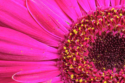 Gerber Daisy Photograph - Close-up Of A Gerber Daisy Showing by Rona Schwarz