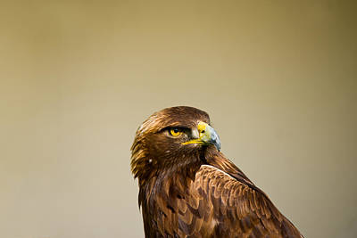 Golden Eagle Photograph - Close-up Of A Golden Eagle Aquila by Panoramic Images