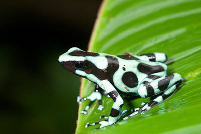 Dart Frogs Photograph - Close-up Of A Green And Black Poison by Panoramic Images